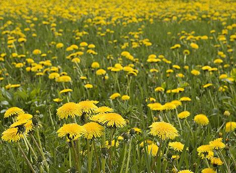 Bon Mardi Dandelion-field-080807