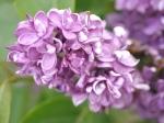 Marks lilacs