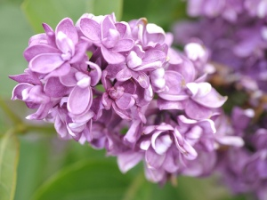 Photo Settlers' Watch  Lilac - Mark Teleha