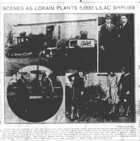 plant lilacs