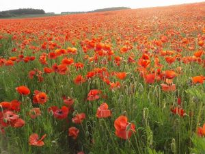 poppies housegro
