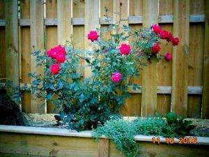 rosesres